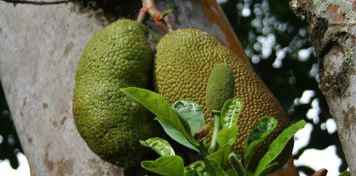 Jackfrucht in Singapur