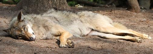 Wolf im Wolfcenter Dörverden