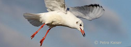 Fliegenden Möwe am Steinhuder Meer