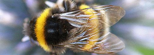 Bienen & Hummeln