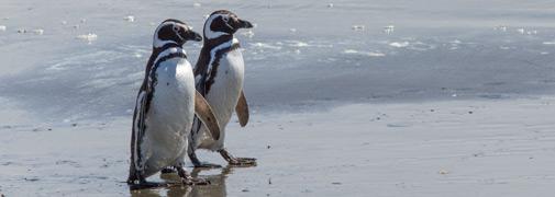 Pinguin Punta Arenas