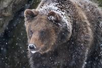 Nationalpark Bayerischer Wald - Bär