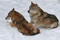 Nationalpark Bayerischer Wald - Wolf