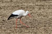 Storch auf Nahrungssuche