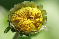 Blütenknospe einer Riesen-Alant
