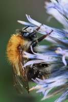 Bienen und Hummeln