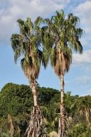Palmen in Sydney
