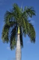 Palme auf Oahu