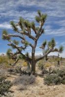 Josua Tree Park - Yucca Palme