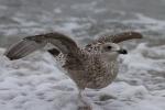 Möwen am Darß - Ostsee
