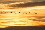 Kraniche bei Sonnenaufgang