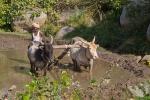 Kühe in der Landwirtschaft in Indien