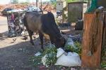 Kuh sucht Fressbares in Indien