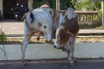 Kuh auf der Straße in Indien
