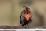Vogel in Chanaral