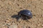 Riesen-Käfer