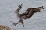 Pelikan - Huasco
