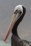 Pelikan - Pan de Azucar