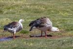 Andean Goose - Lago Chungara