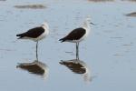 Andensäbelschnäbler - Salar de Atacama