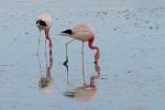 Flamingo - Laguna Chaxa - Chile