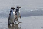 Magellan-Pinguine - Punta Arenas - Chile