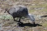 Magellan-Goose - Punta Arenas - Chile