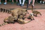 Kattas - Lemuren - Iguazu - Argentinien