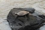 Wasserschildkröte Iguazu - Argentinien