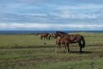 Pferde - Osterinsel Chile