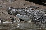 Krokodil im Daintree