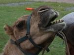Kamel in Airlie Beach