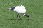Ibis in  Adelaide