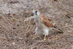 Falke auf Rottnest Island