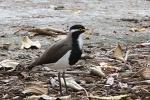Vogel auf Rottnest Island