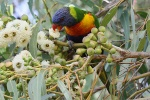 Lorikeet in Perth