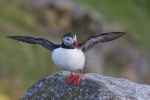 Papageientaucher - Puffin - Insel Runde - Norwegen