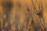 Naturpark Südheide - Spinnennetz im Morgengrauen
