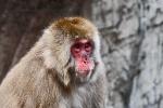 New York - Snow Monkey