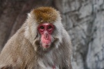 New York - Snow Monkey
