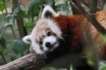 New York - Roter Panda