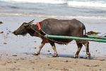 Wasserbüffel auf Palawan