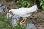 Hühner auf Palawan