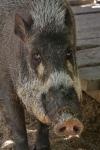 Palawan - Schwein