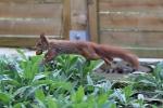 Eichhörnchen klaut Walnuss