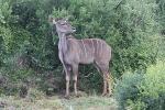 Addo Elephant Park - Kudu