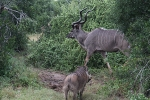 Addo Elephant Park - Antilopen
