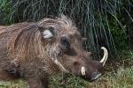 Addo Elephant Park - Warzenschwein