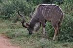 Addo Elephant Park - Antilope