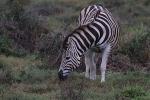 Addo Elephant Park - Zebra